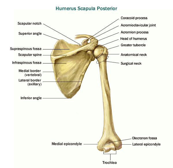 Clavicle Landmarks Scapula Parts Click Here To View List Of