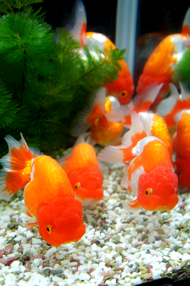 Lionhead Goldfish They Have A Longer Body Than The Similar Ranchu Goldfish Lionhead Goldfish Goldfish Fantail Goldfish