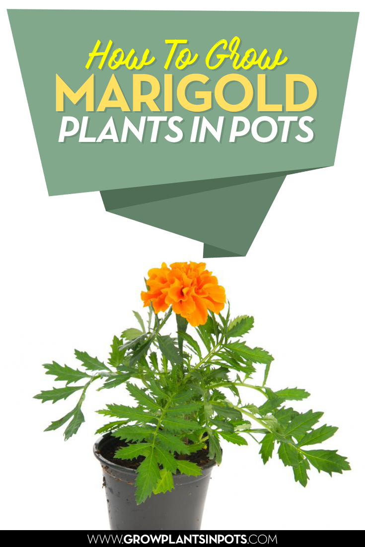 While you can buy marigold plants at your local garden ...