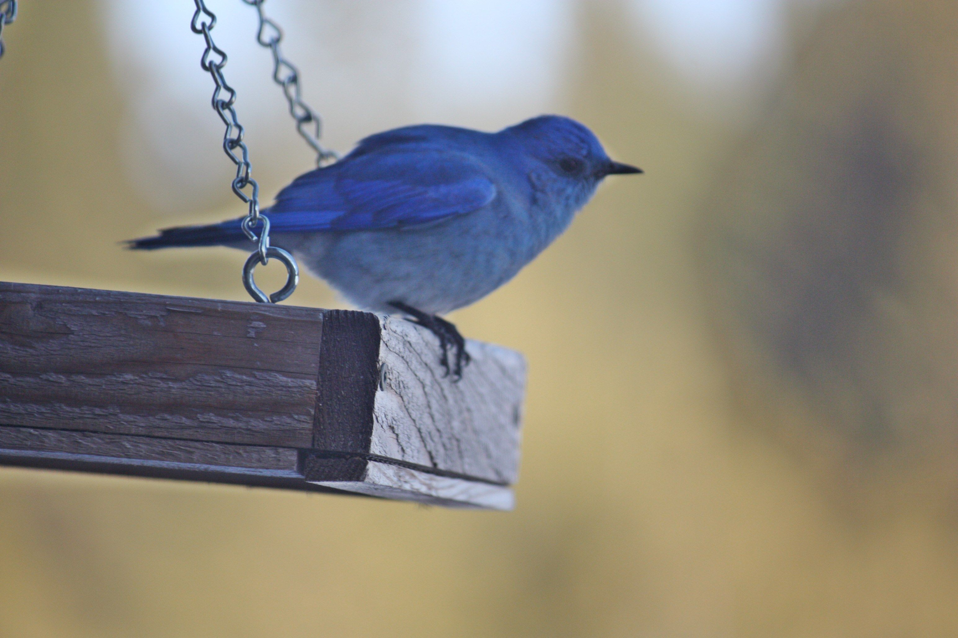 Ordinaire How To Attract Bluebirds To Your Backyard Tips U0026 Tricks