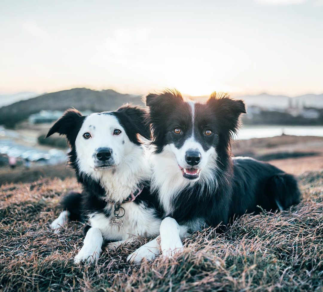 Get 3d Border Collie For Free Border Collie Collie Dogs