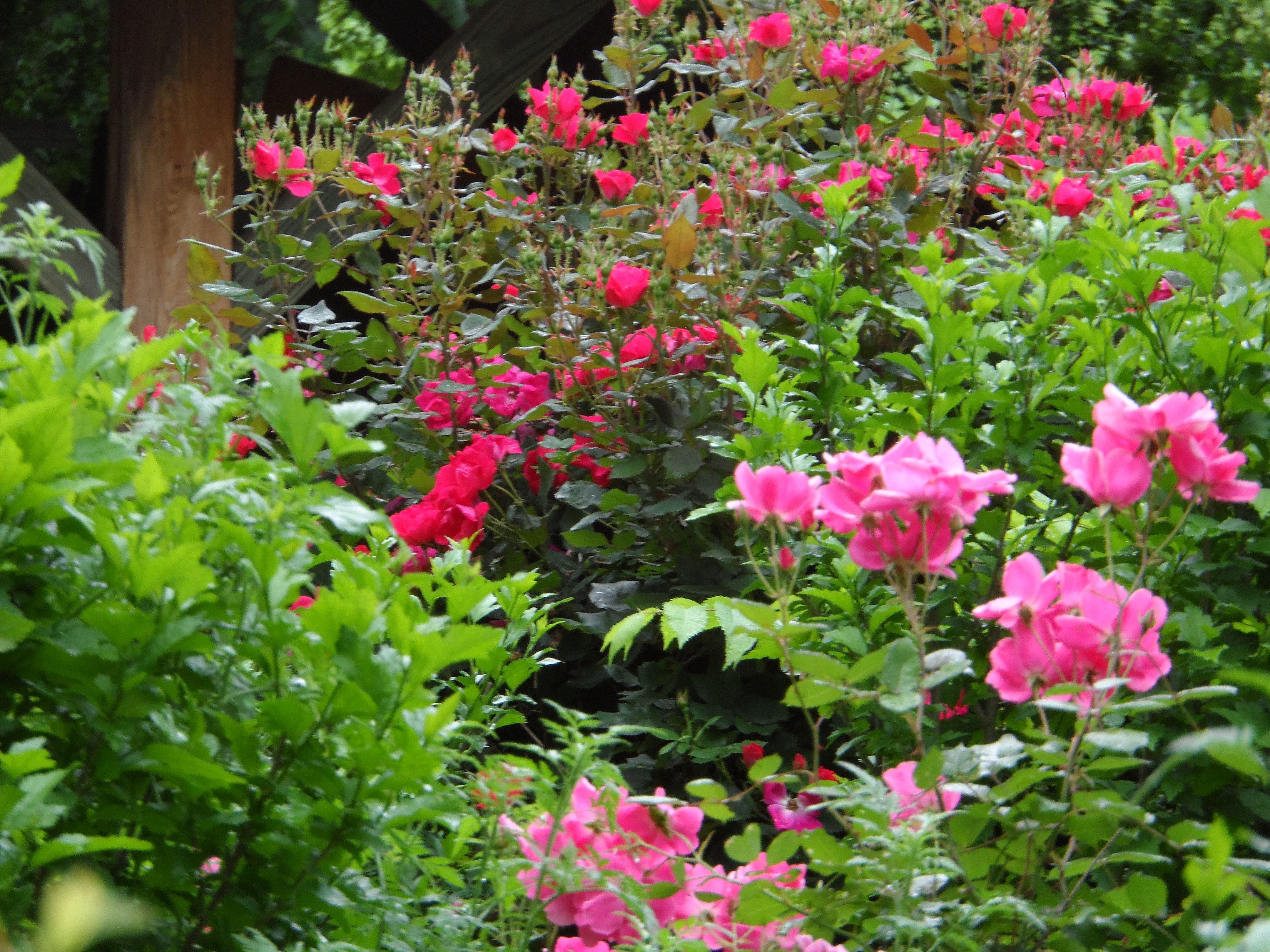 rose profusion