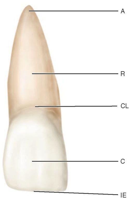 Maxillary central incisor (facial aspect). | Dentistry | Pinterest ...