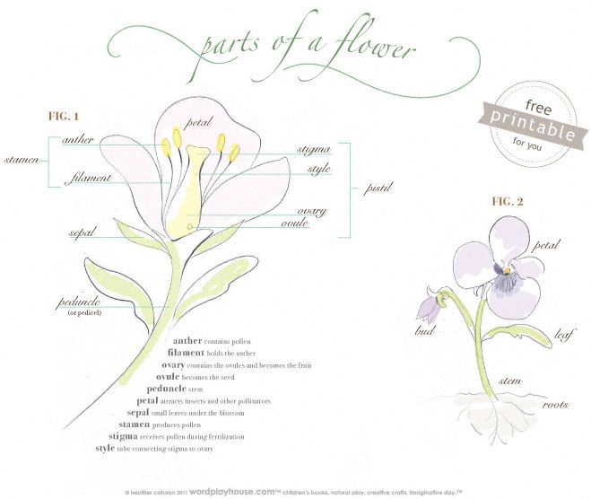 Teach children the parts of a flower with a free flower part chart printable—hand drawn flower chart is pretty enough to frame.