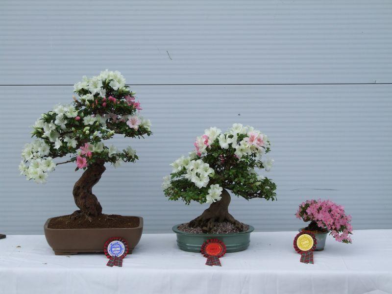 Bonsai Care For Kurume Azalea Bonsai Care Bonsai Tree Care Bonsai