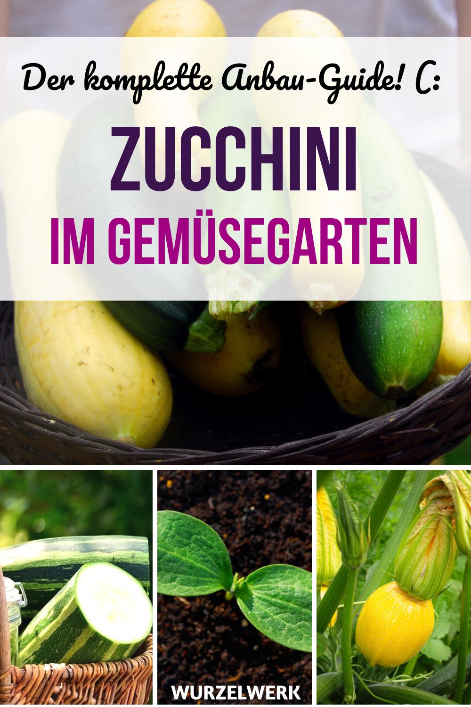 Welche Zucchini Sorten Sind Die Besten Wie Baue Ich Zucchini An Sodass Ich Richtig Lange Von Meinen Zucchini Pflanz Zucchini Plants Growing Zucchini Zucchini