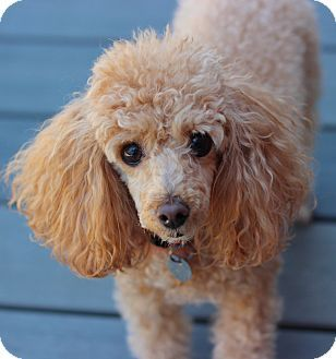 Ruff Ruff My Name Is Celine Poodle Puppy Miniature Poodle