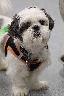 Shih Tzu Mix Dog For Adoption In Urbana Ohio Rockey Turner Shih Tzu Dog Adoption Shih Tzu Mix