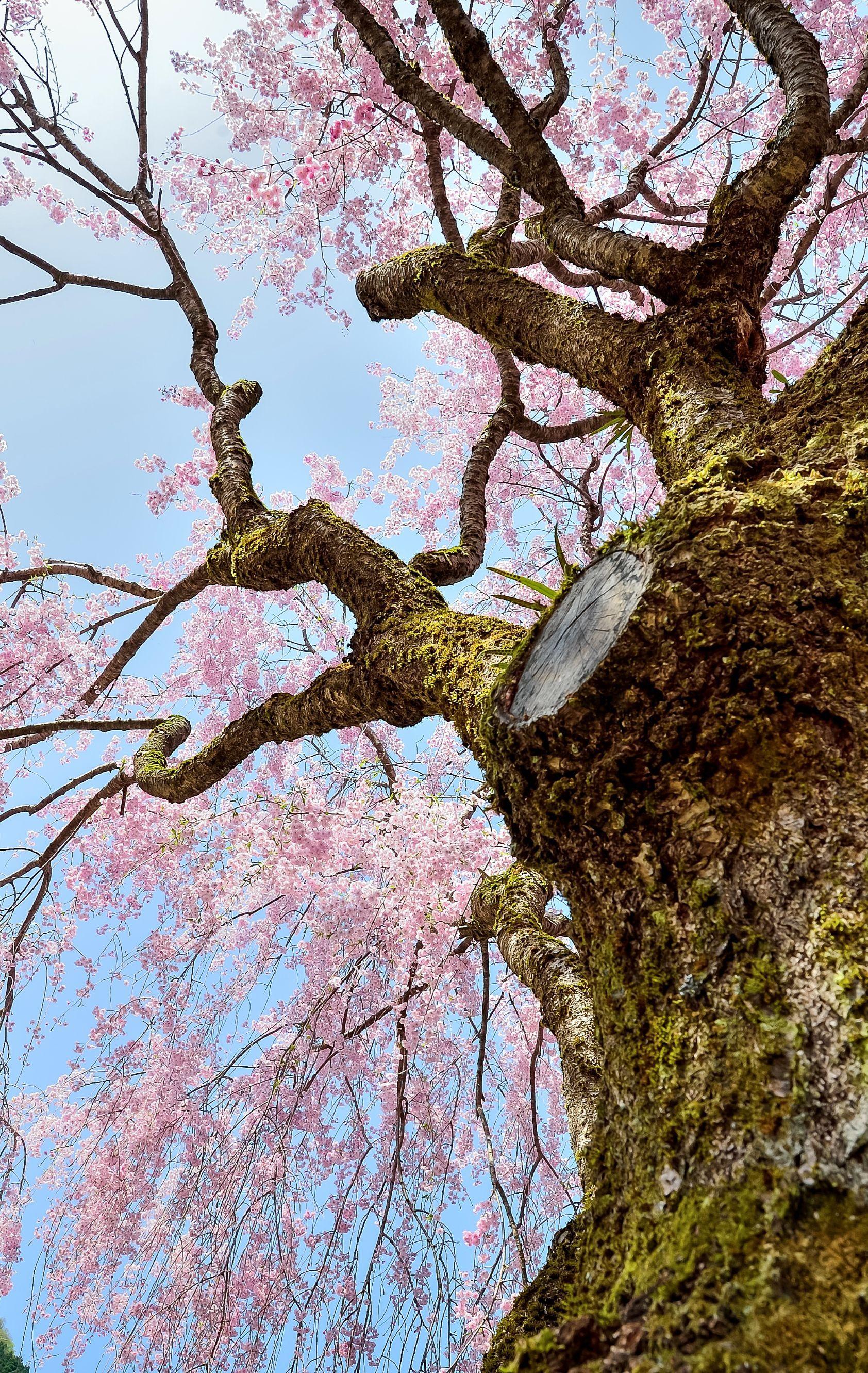Cherry Blossom Japan Cherry Blossom Japan Japanese Cherry Cherry Blossom