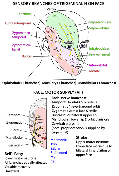 nerves of the head neck and face anatomy head and neck Nerve Behind Ear anatomy head and neck nerves cranial vii supplying face