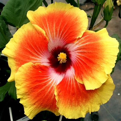 10 Beautiful Hibiscus To WOW Your Patio