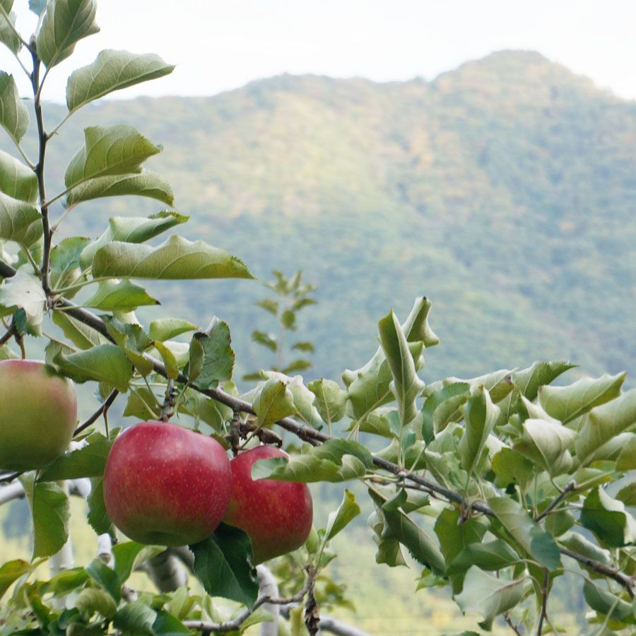 apple farm  on my daily life and tagged apple, apple farm, autumn, Gunma, japan, landscape, matchaatnoon, mountain, nature, on my daily life, travel
