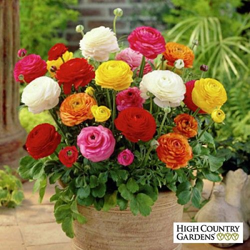Tecolote Ranunculus Mix Ranunculus Spring Flowering Bulbs Flower Garden Plants