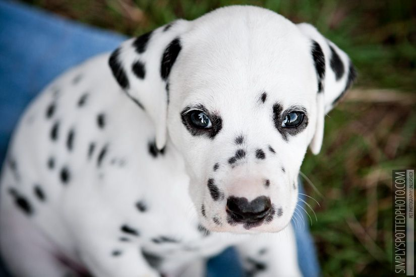 A New Frisbie Family Dog Contender I Think We May Have Finally Come To A Husband Wife Agreement Now Just Dalmatian Puppy Cute Small Animals Dalmatian Dogs