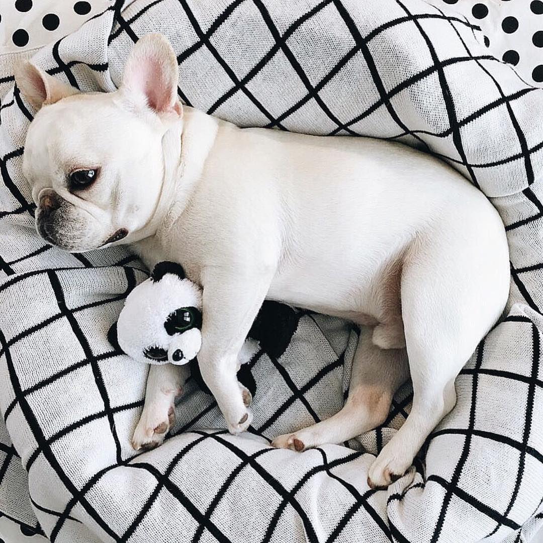 Why Is My Dog So Lethargic The Farmer S Dog Bulldog French Bulldog White French Bulldog Puppies