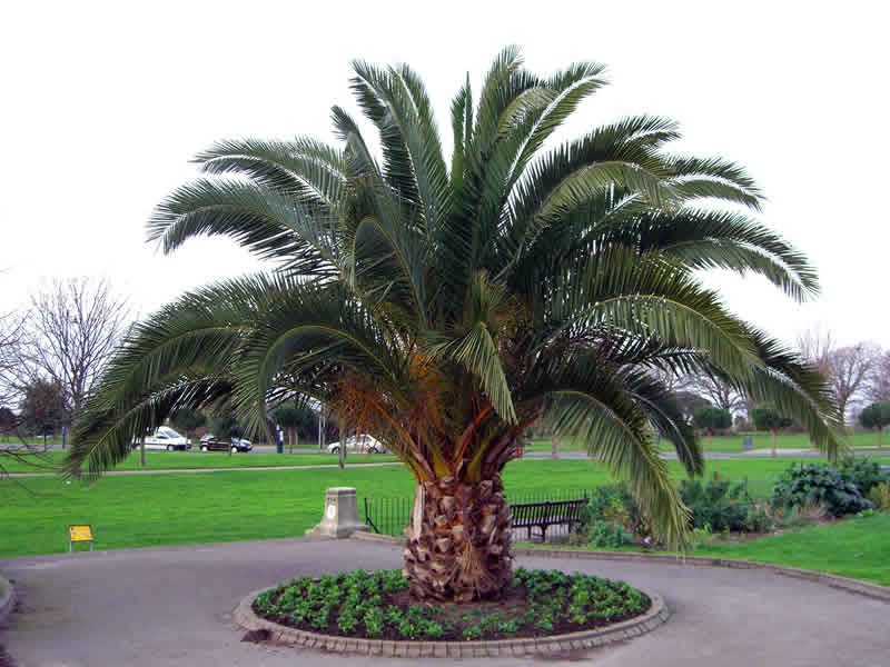 Tropical backyard landscaping ideas - Backyard Ideas Landscaping Ideas Phoenix Palm Garden Forward Date Palm