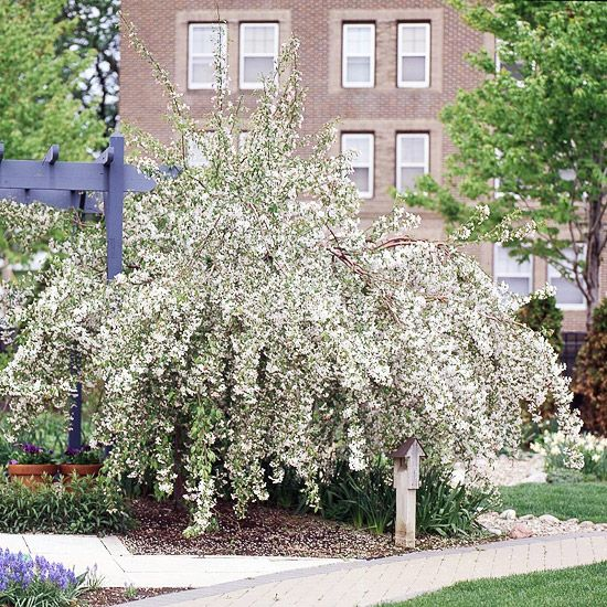 13 Of The Most Colorful Crabapple Trees For Your Yard Crabapple Tree Crab Apple Tree