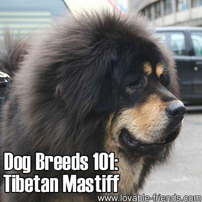 Dog Breeds 101-Tibetan Mastiff