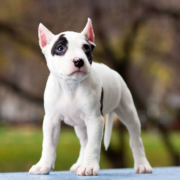 Cute Pit Bull Puppy Chloe Found Many Cool Names Here