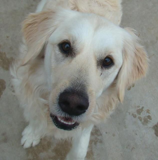 Adopt Ariel On English Creme Golden Retriever Golden Retriever Dogs Golden Retriever