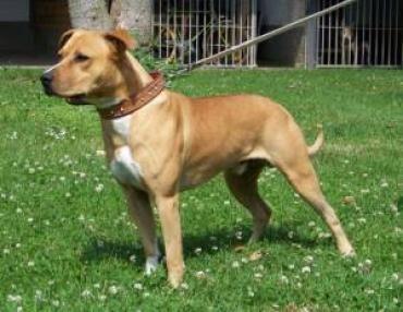 Richi Amstaff Mix 6 Jahre Vertraglich Hundesport Geeignet Wartet In Hessen Staffordshire Terrier Hunde Tiervermittlung
