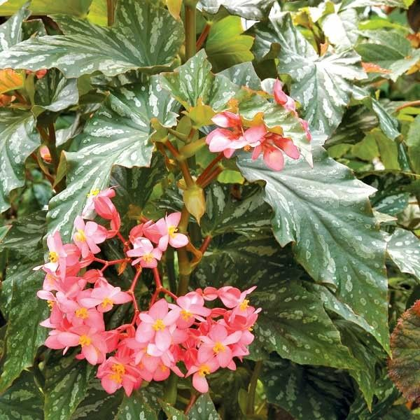 Begonia Paper Snowflake Begonia Fibrous Hybrid Is An Upright Angel Wing With Silver Pattterned Leave Begonia Perennial Flowering Plants Flowers Perennials