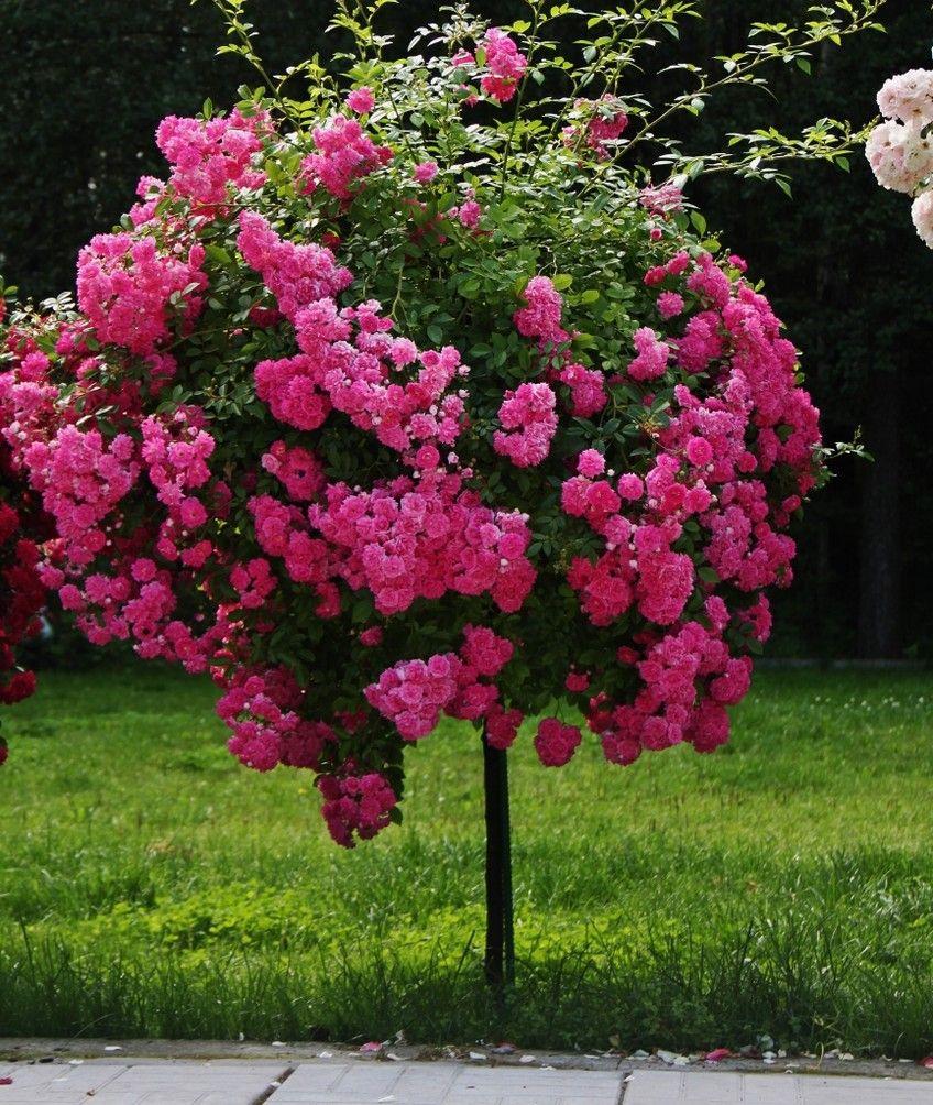 многолетники требуют роза розовое дерево фото и описание пример