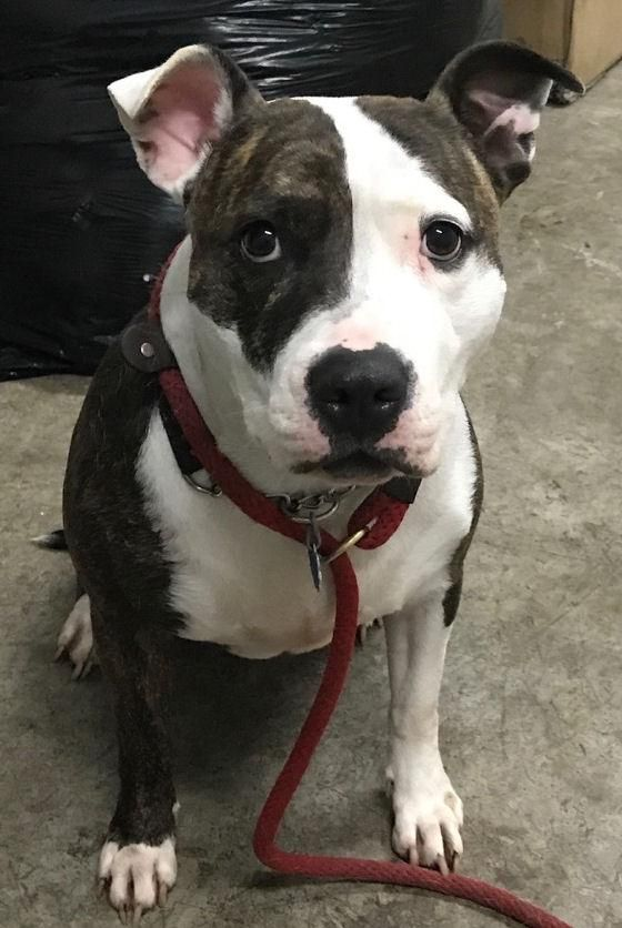 Adopt London 20253 On Petfinder Bulldog Dog American Bulldog Humane Society