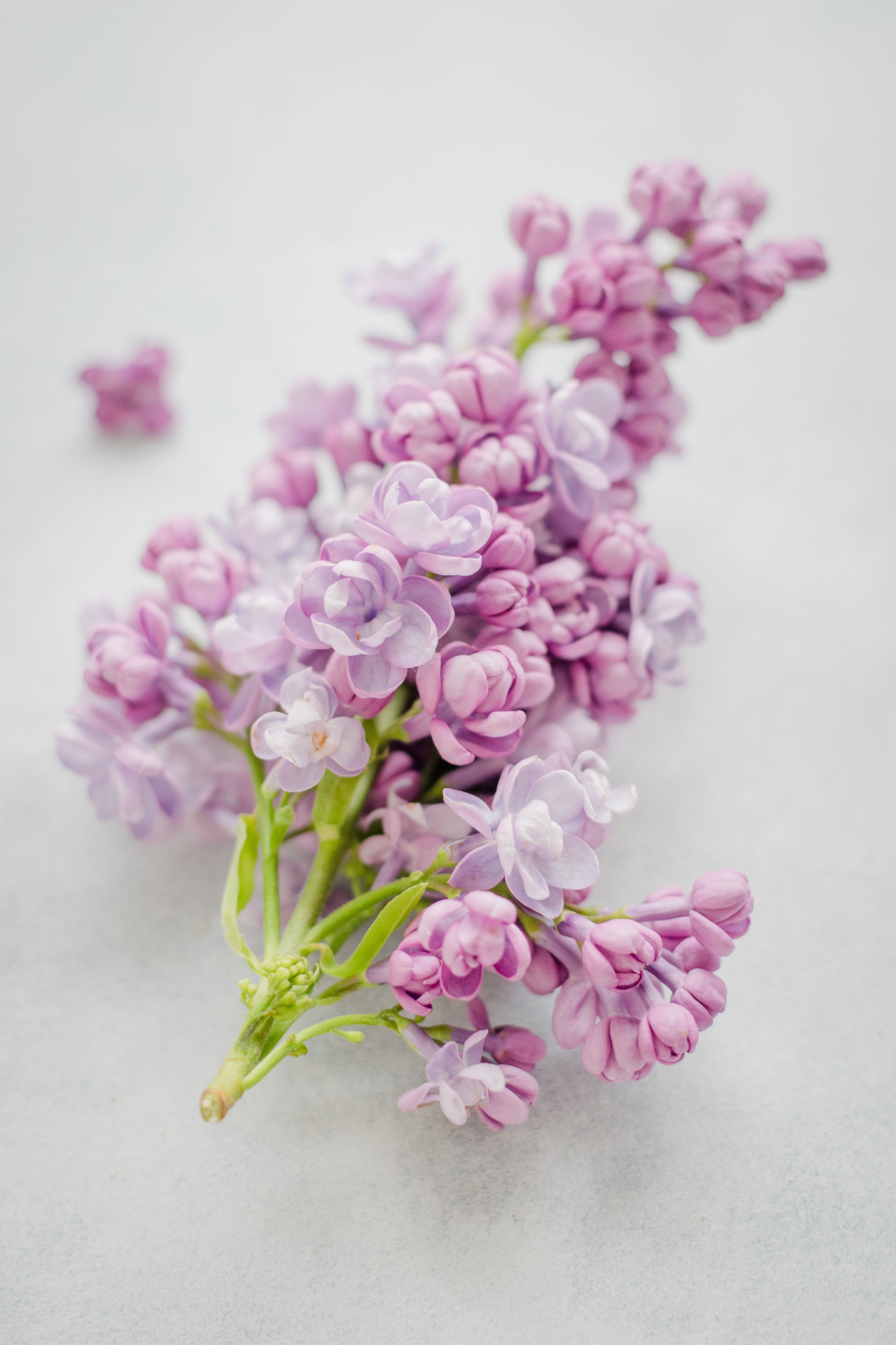 Language Of Flowers Series Lilac Means Spring Renewal Confidence Lilacs Have A Deep Rooted History Originating In Flower Pictures Flowers Spring Flowers