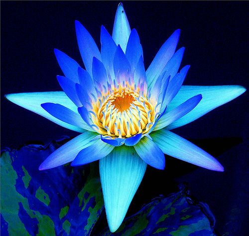 Lily Blue | Flowers, Water lilies and Flower