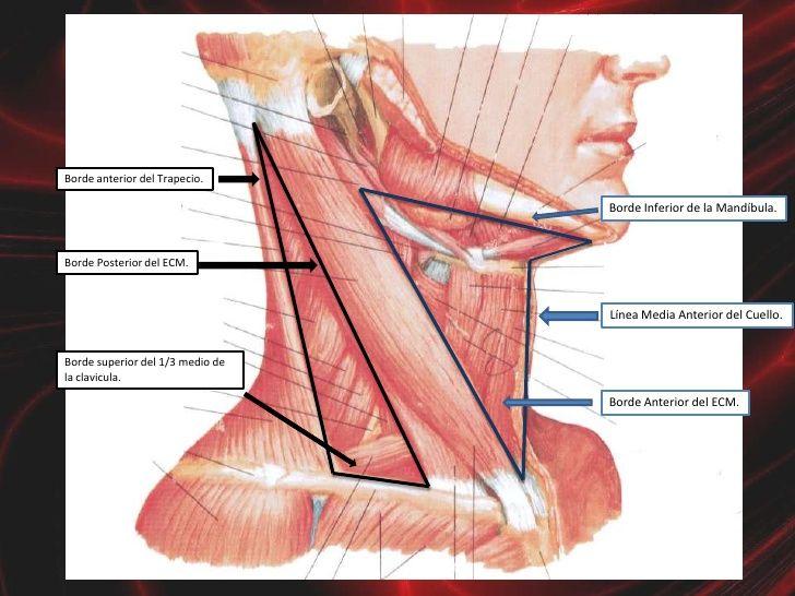 musculos del cuello - Buscar con Google | anatomy | Pinterest ...