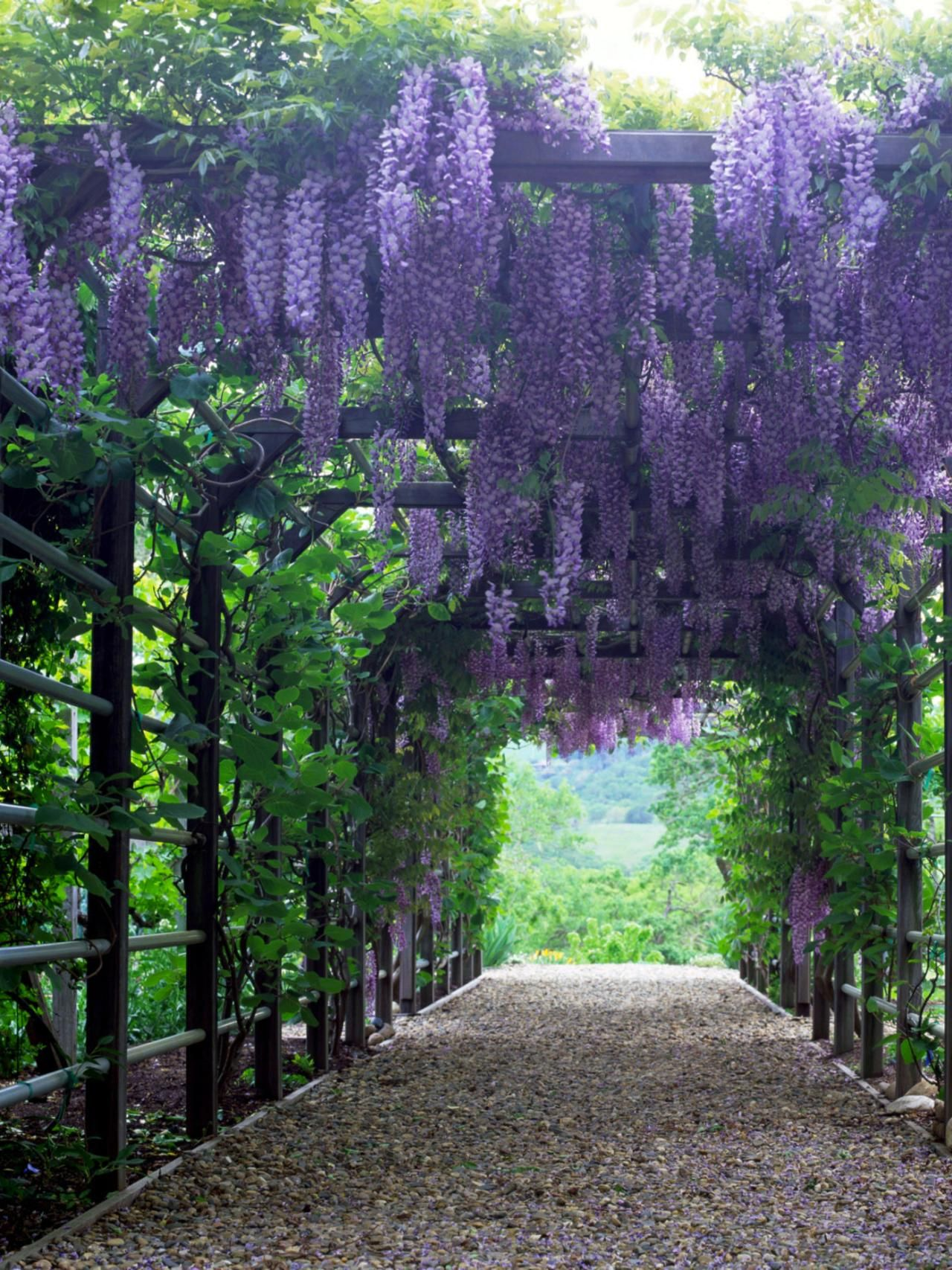 Heavyweight Wisteriashow less A strong framework, such as that of this  solidly built pergola, - Vines For Arches And Pergolas Ser El Mejor, Mejores Y Jardín