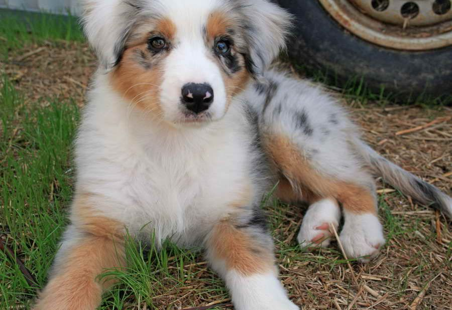 Australian Shepherd Golden Retriever Mix Puppies For Sale Golden