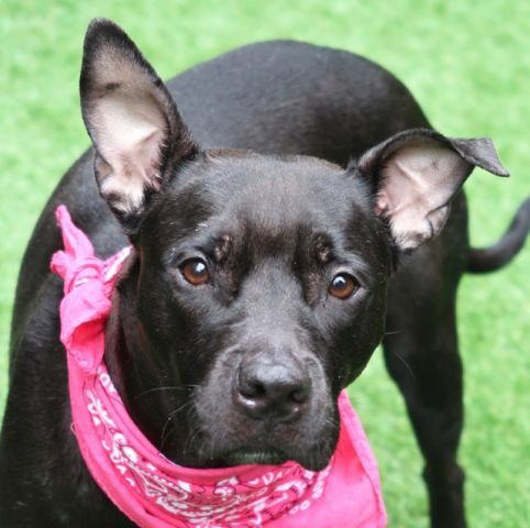 Lavinia A1112676 Manhattan To Be Destroyed 05 26 17 Must Be Pulled By A New Hope Rescue A Volunteer Writes Lavi My Animal Animals Dog Adoption