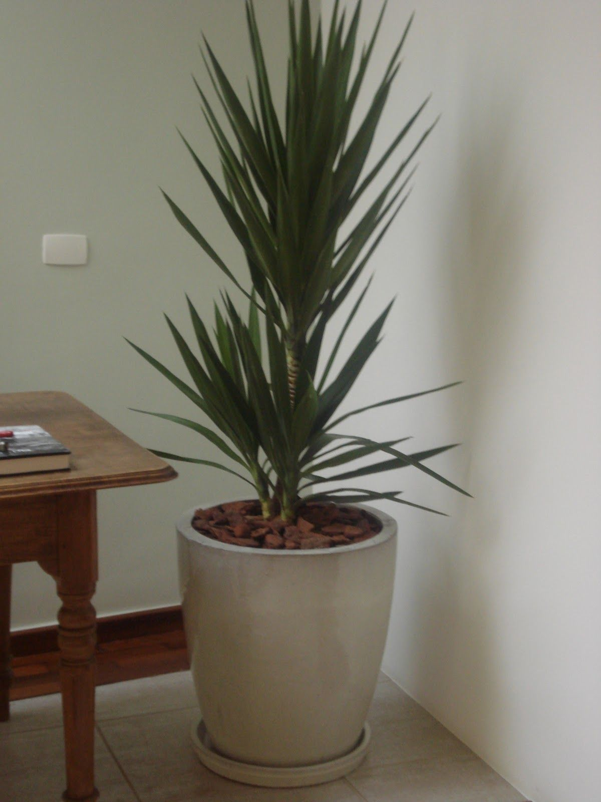 Yucca rea interna vasos grandes pinterest plantas - Yucca elephantipes cuidados ...
