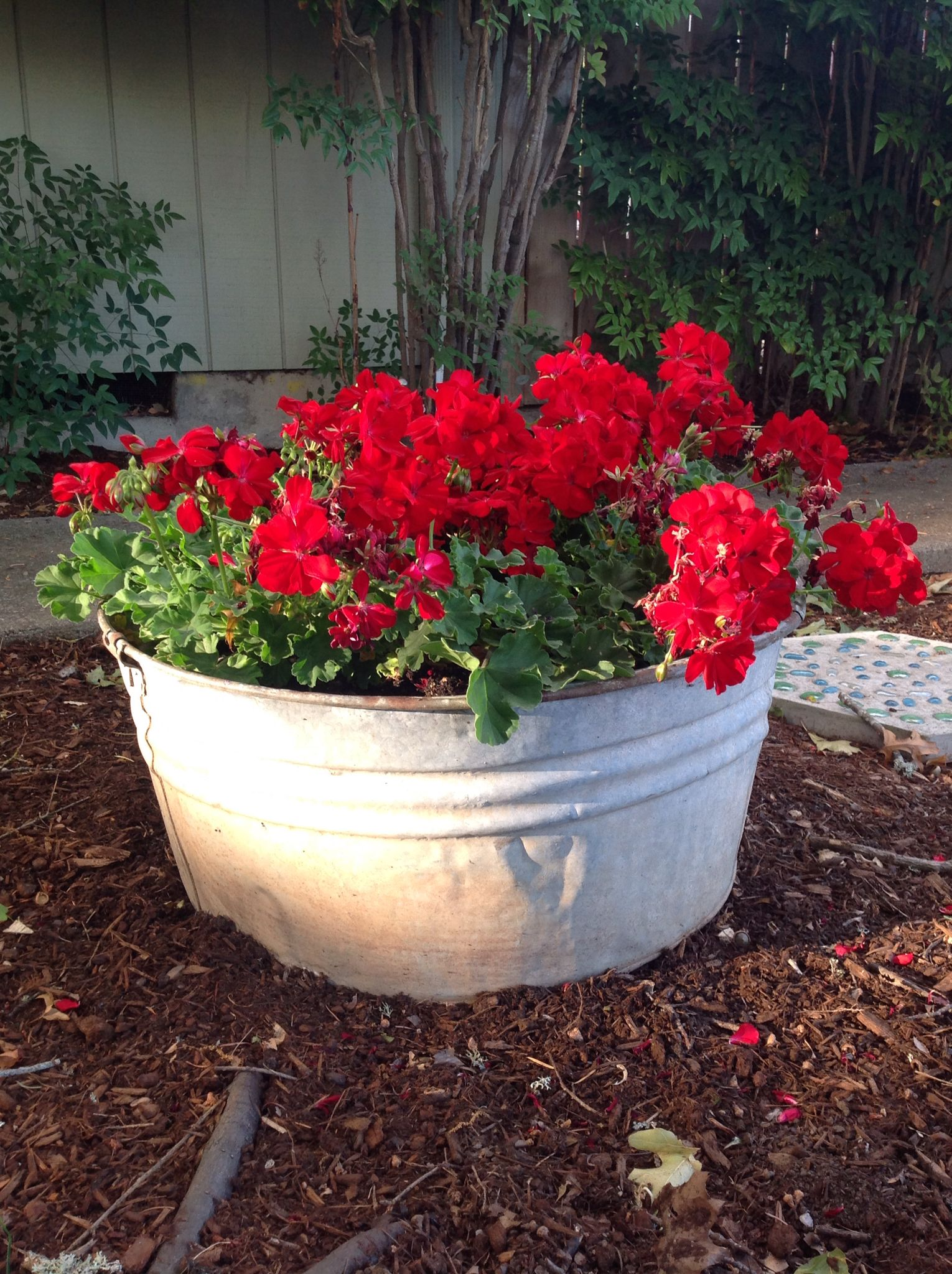 Red geraniums in old tub