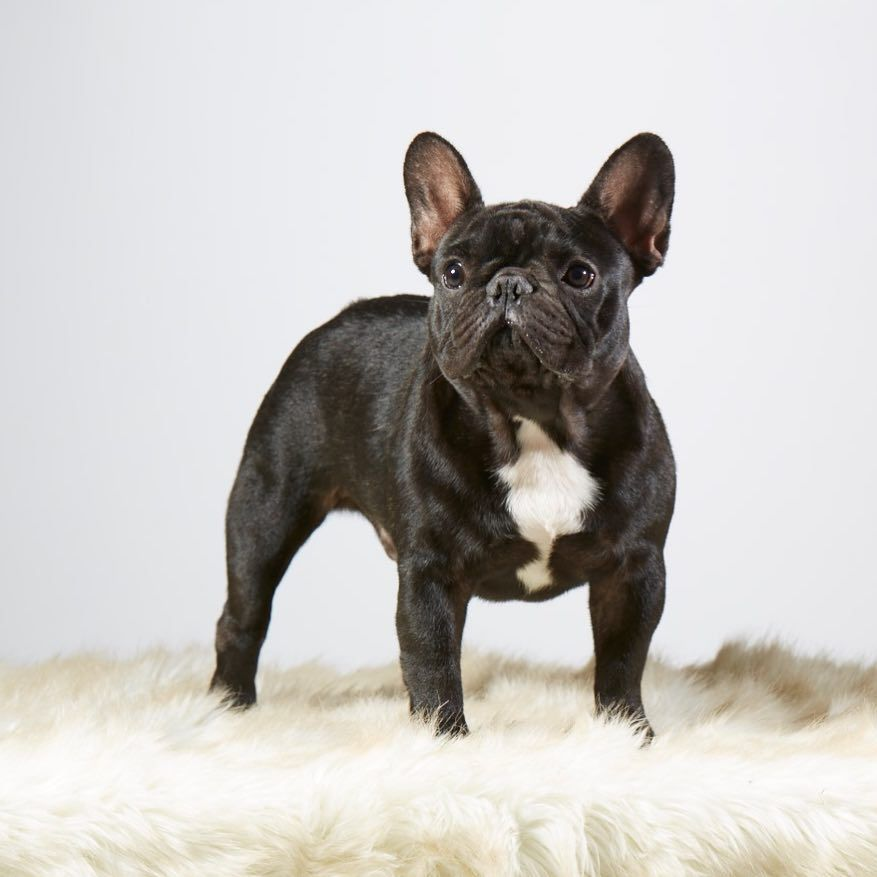 French Bulldog Photo Follow And Share Your Pics With Us Frenchbulldogvalko Frenchbulldog French Bulldog French Bulldog Puppies Bulldog Pics
