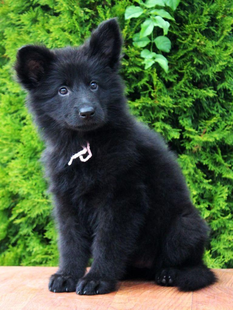 Luna The Black Wolf Wolf Dog Puppy German Shepherd Dogs Wolf Dog