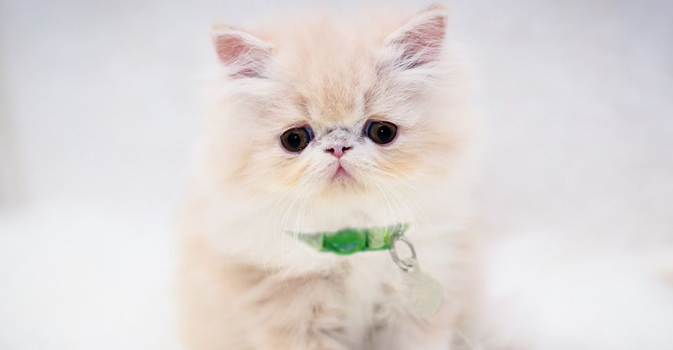 What Are the Cutest Cat Breeds? Fluffy cat breeds, Cute
