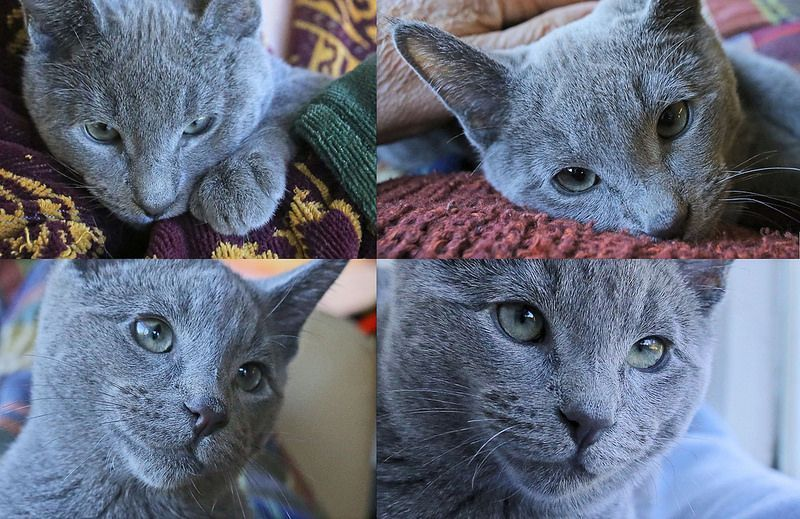 Russian Blue Russian Blue Kitten At 17 Weeks Photogenic As All