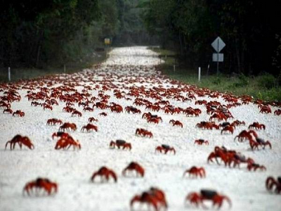 every year at the beginning of the wet season around october or november the christmas island red crab gecarcoidea natalis begins its migration from