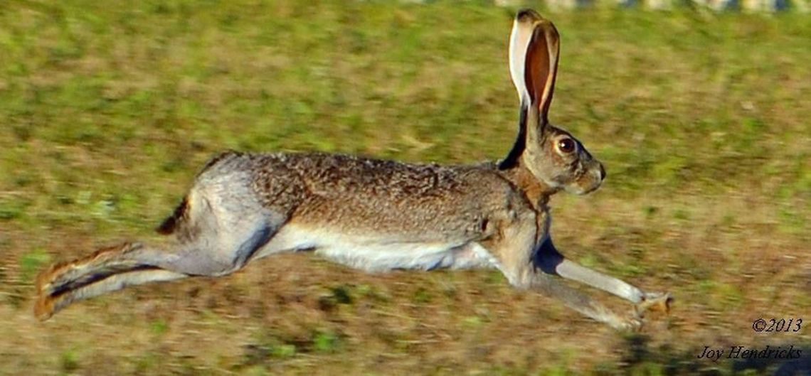 jack rabbit running