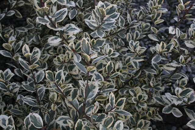 Variegated Italian Buckthorn Rhamnus Alaternus Variegata Variegated How To Dry Basil Plants