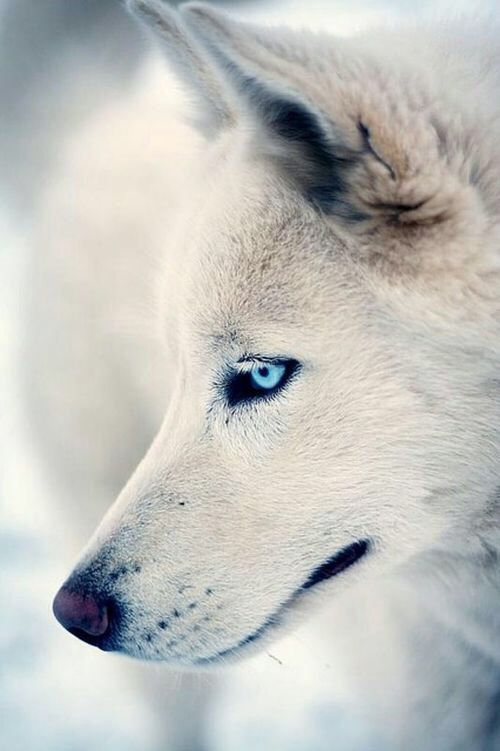 Looks like my Nakita---white timber wolf that died a few years back
