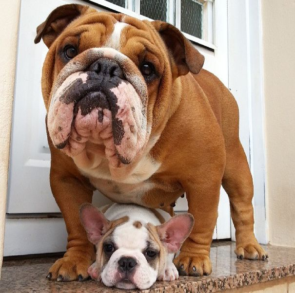 Inter Breed Mingling Cute Dog Pictures Bulldog Puppies Cute