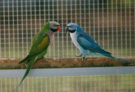 Normal and Blue Mustached Parakeet   Parakeets   Parakeet