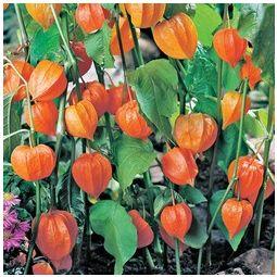 Iris Victoria Falls Chinese Lanterns Plant Plants Buy Garden