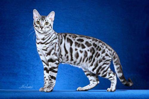 May Starclan Light Your Path Silver Bengal Cat White Bengal Cat Bengal Cat