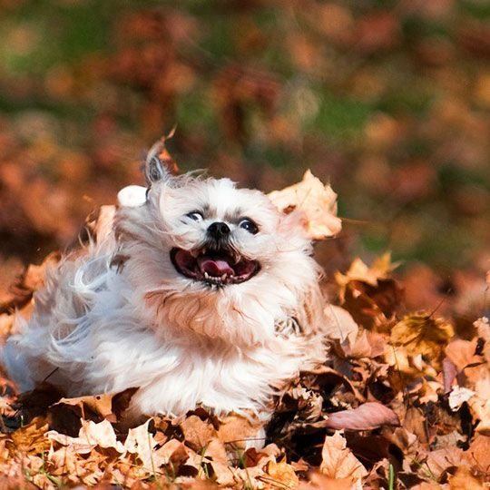 dog running leaves autumn fall