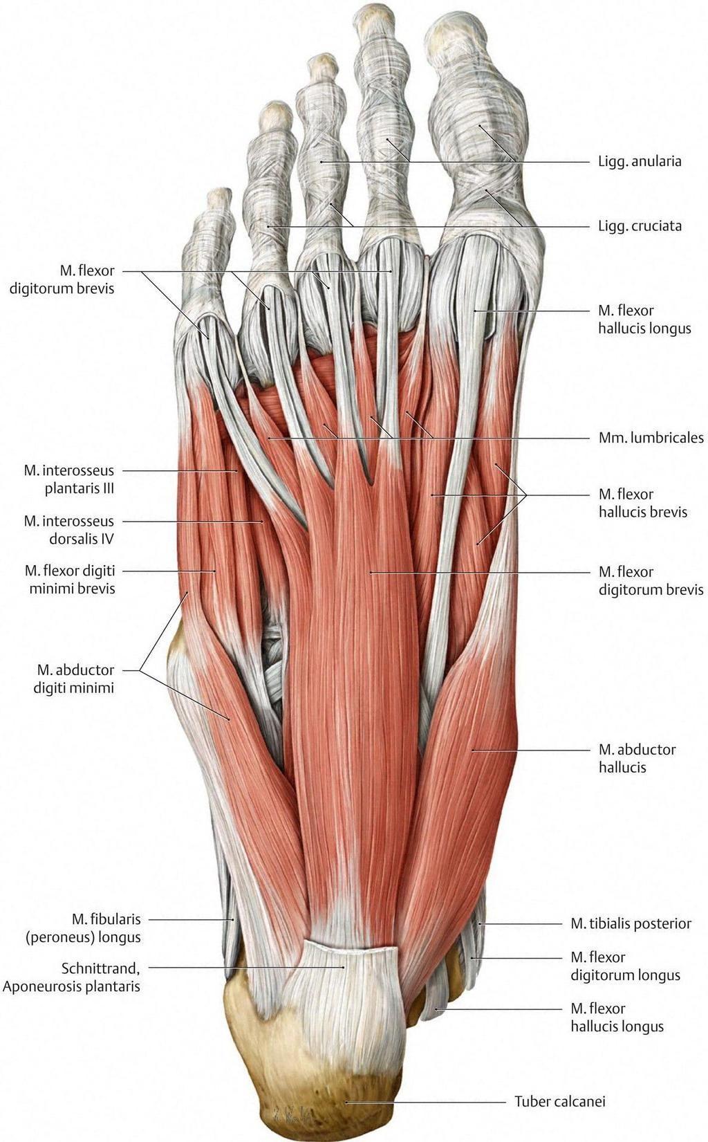 Resultado de imagen de anatomie des unterleib | Medicina | Pinterest ...